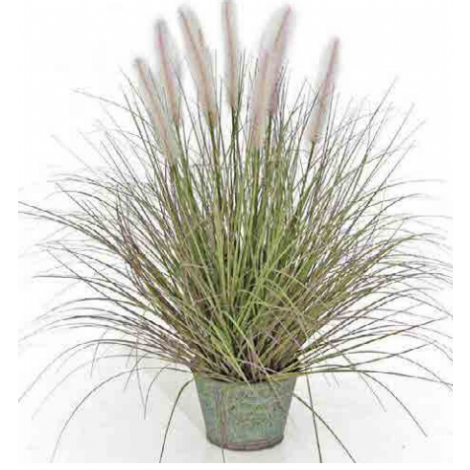 Tree Locate Dogtail Grass In Metal Pot
