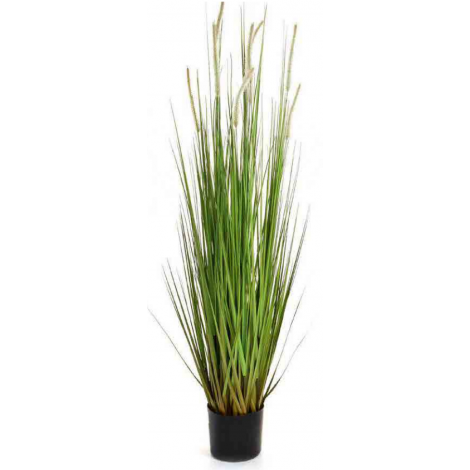 Tree Locate Dogtail Grass In Plastic Pot