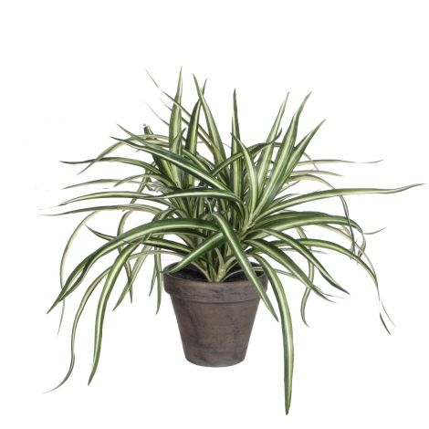Edelman White Dracaena In Grey Pot