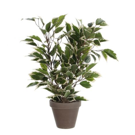 Edelman Green Variegated Ficus Natasja In Grey Pot