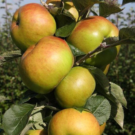 Apple (Malus) Bramley's Seedling