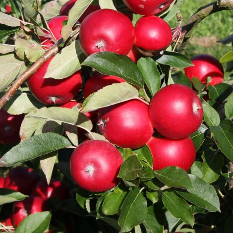 Apple (Malus) Scrumptious