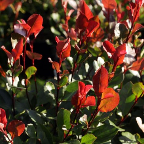 Photinia Little Red Robin