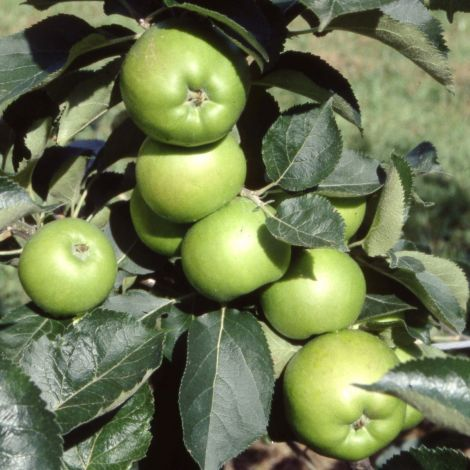 Apple (Malus) Bramley 20