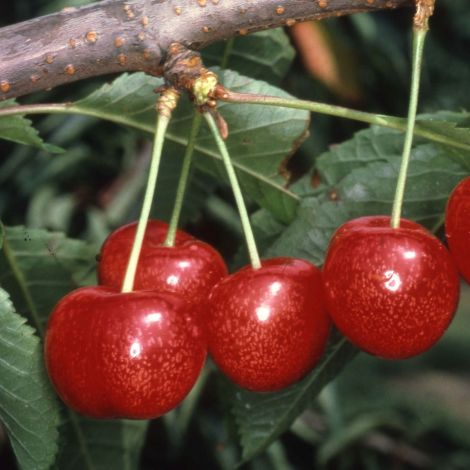 Cherry (Prunus) Morello