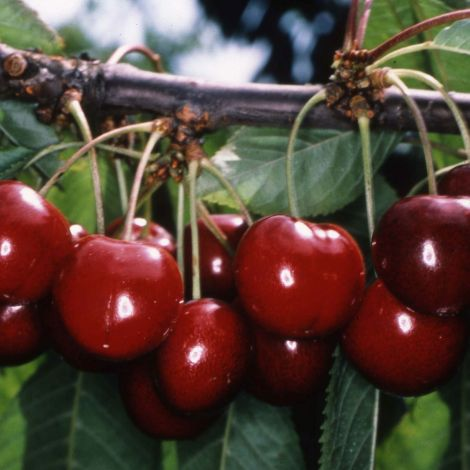 Cherry (Prunus) Stella